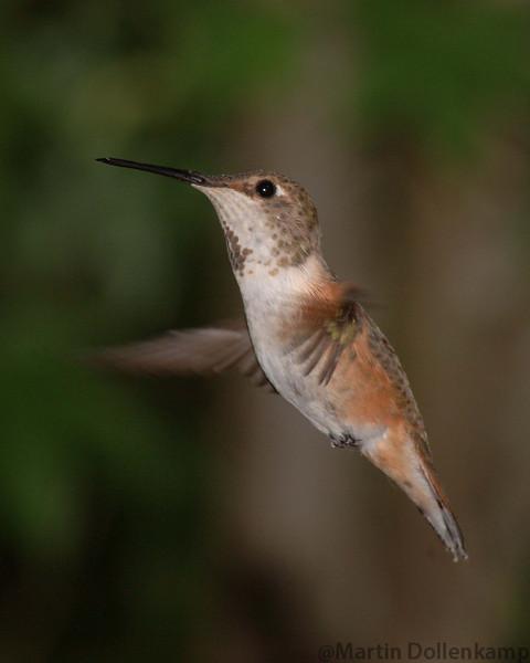 Female Rufous Hummingbird.
