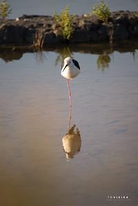perna-longa