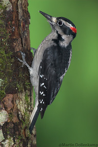 Hairy Woodpecker Picoides villosus