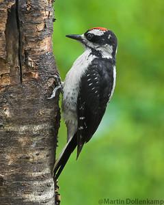 Hairy Woodpecker juvenile Picoides villosus