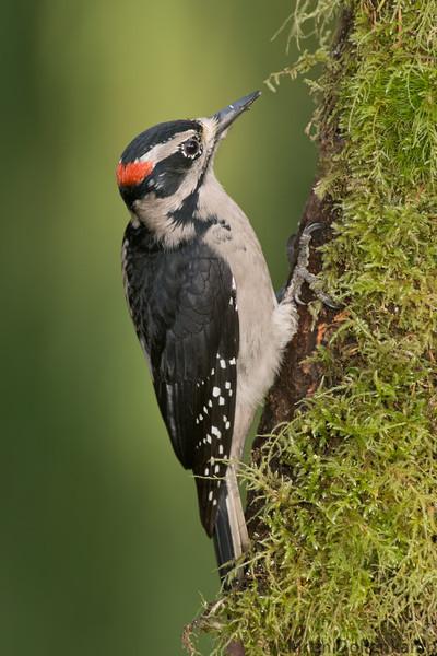 Hairy Woodpecker male on mossy tree