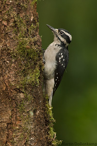 Like most woodpeckers Hairy's have very long tongues.