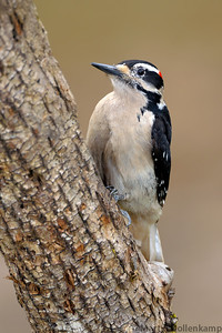 Hairy Woopeckers will come to a suet feeder, they also like sunflower chips