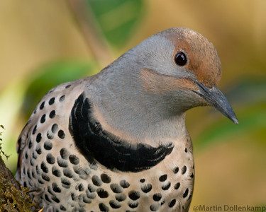 Northern Flicker female closeup
