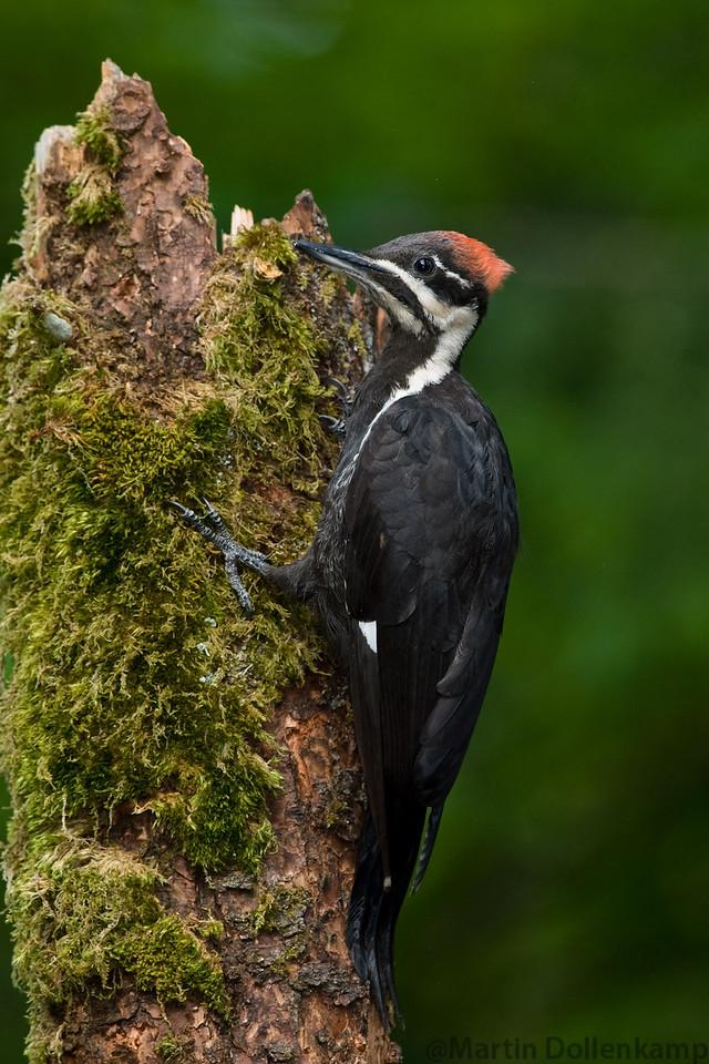 Pileated Woodpecker fledgling female