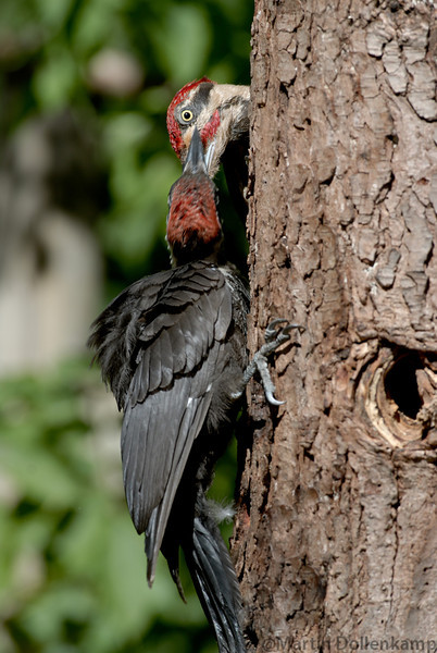 Pileated Woodpecker fledgling being fed