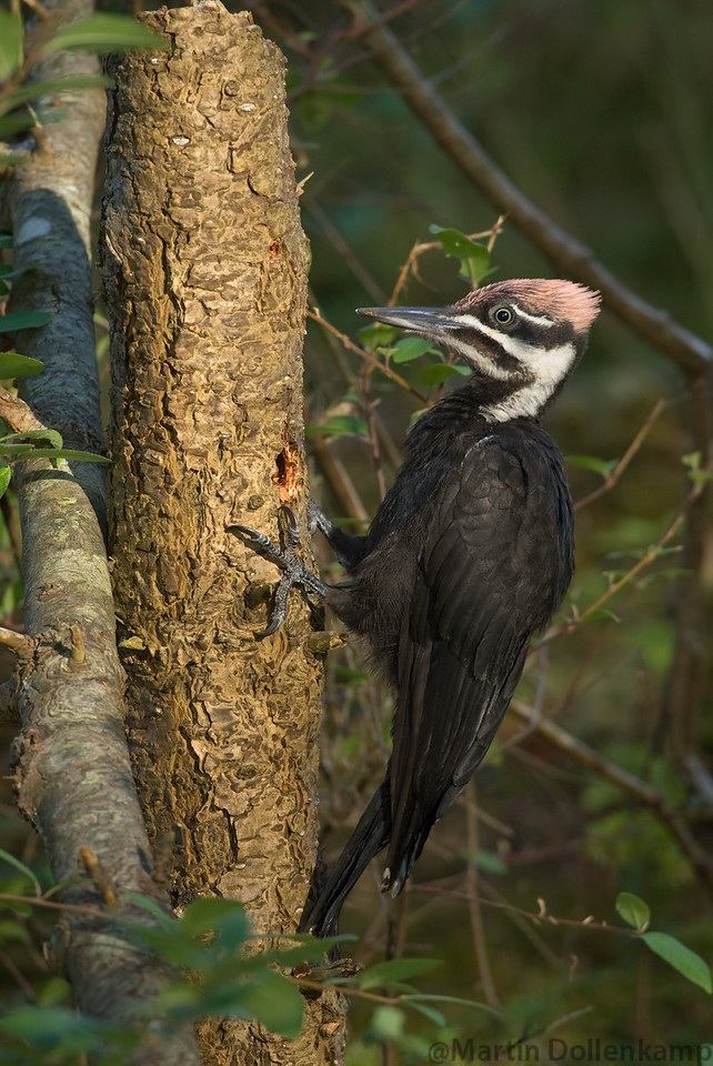 Pileated Woodpecker fledgling male foraging for food, Oyster River Trail, Vancouver Island.