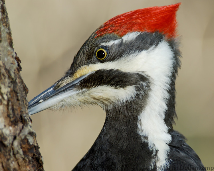 Pileated Woodpecker Female, to get this close you need a blind or building close to the feeder.