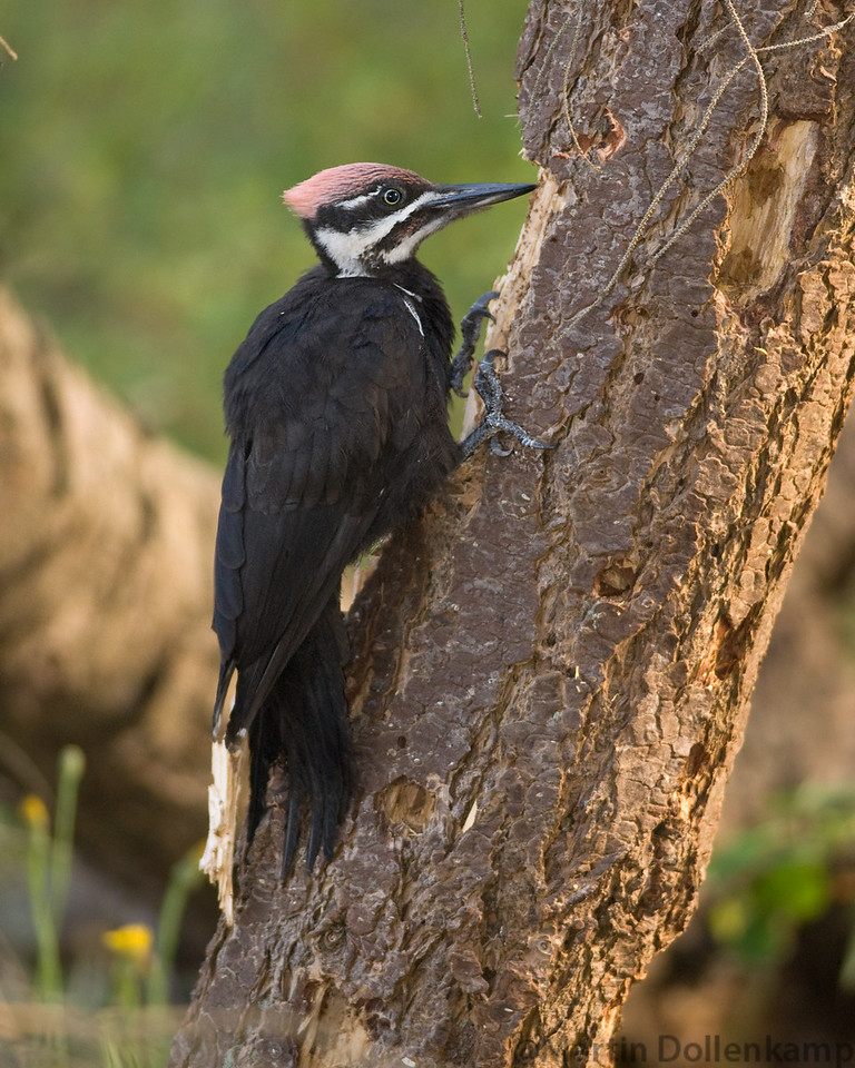 Yound Pileated Woodpecker is old enough to find its own food along the Oyster River Trail, Vancouver Island.