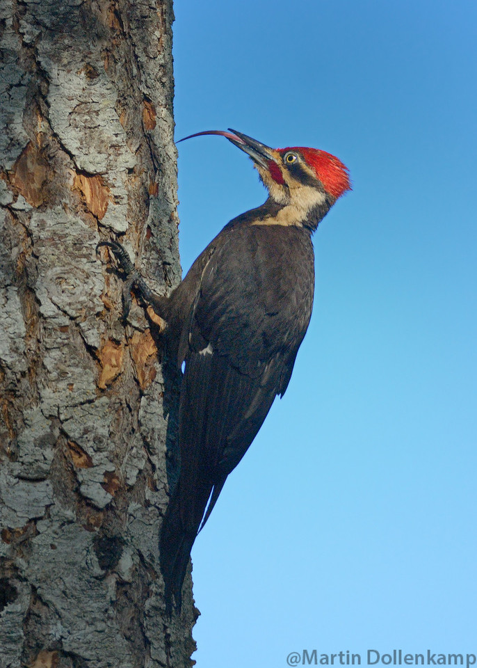 Pileated Woodpecker male, look at that tongue!