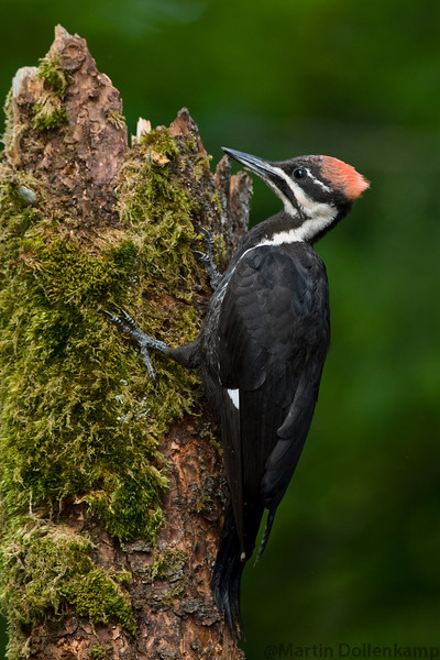 Pileated Woodpecker fledgling female Vancouver island.