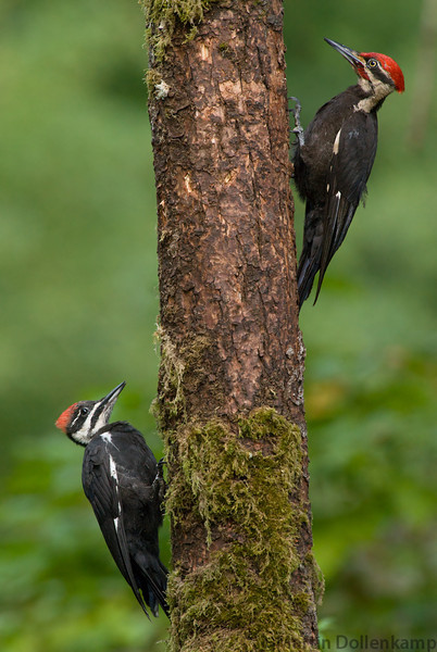 Dad and female fledgling Pileated Woodpecker on the same tree.
