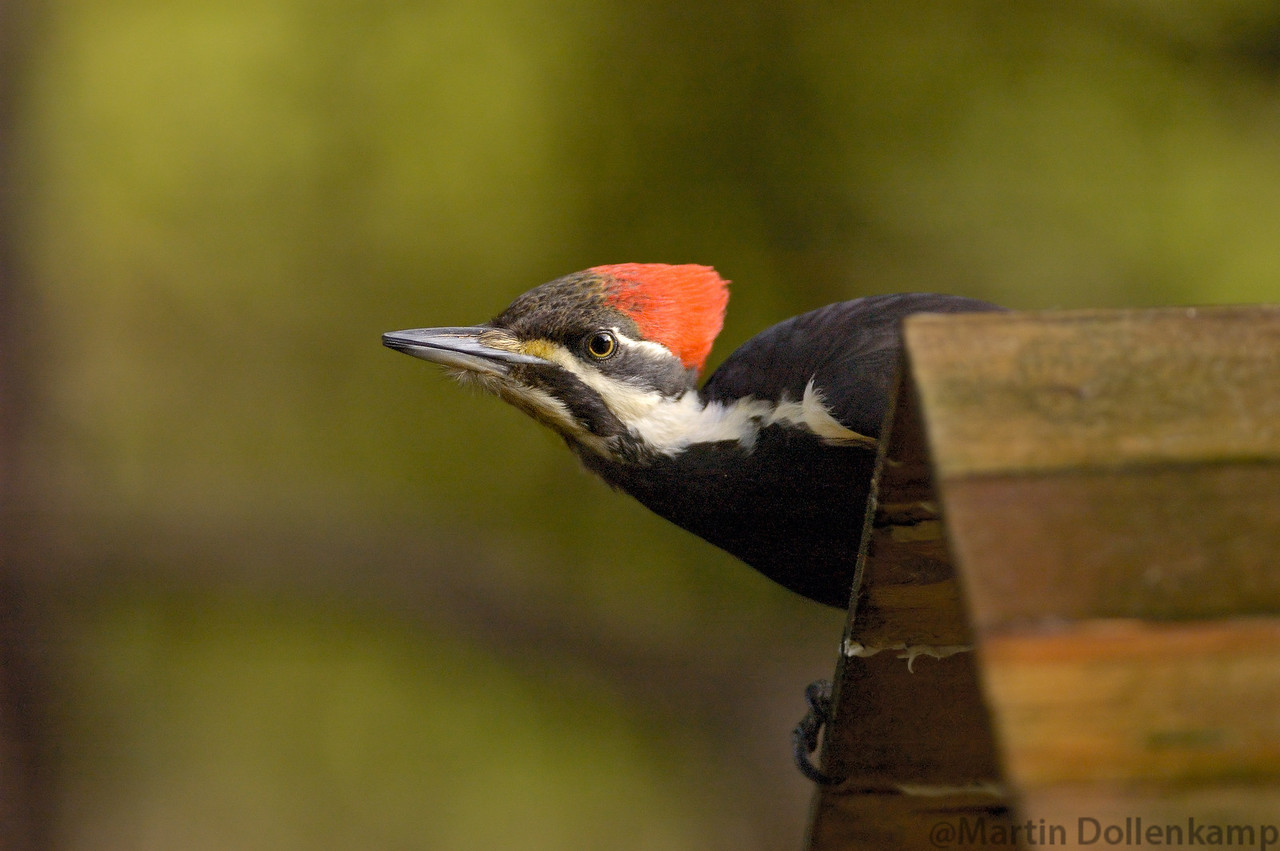 Pileated Woodpecker on the bird feeder.