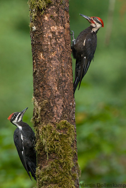 Dad and female fledgling Pileated Woodpecker.