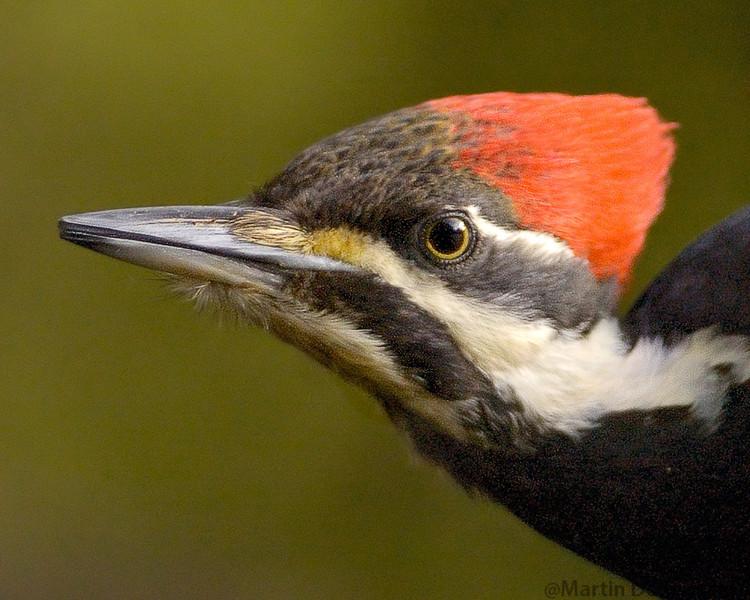 Pileated Woodpecker closeup portrait.