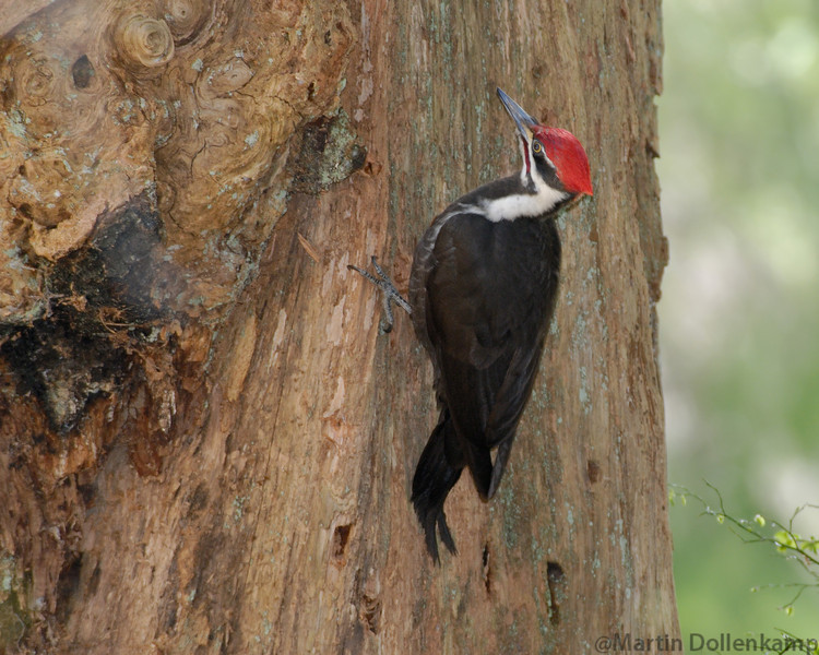 Pileated Woodpecker on a big old stump.