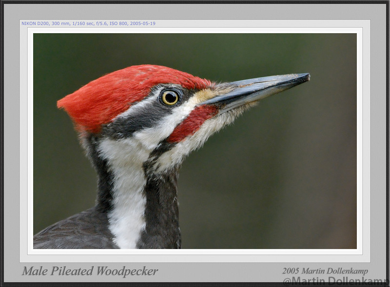 Pileated Woodpecker Male favorites framed.