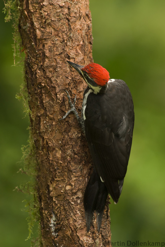Pileated Woodpeckers make a new nest every year, the old ones get used for sleeping in.