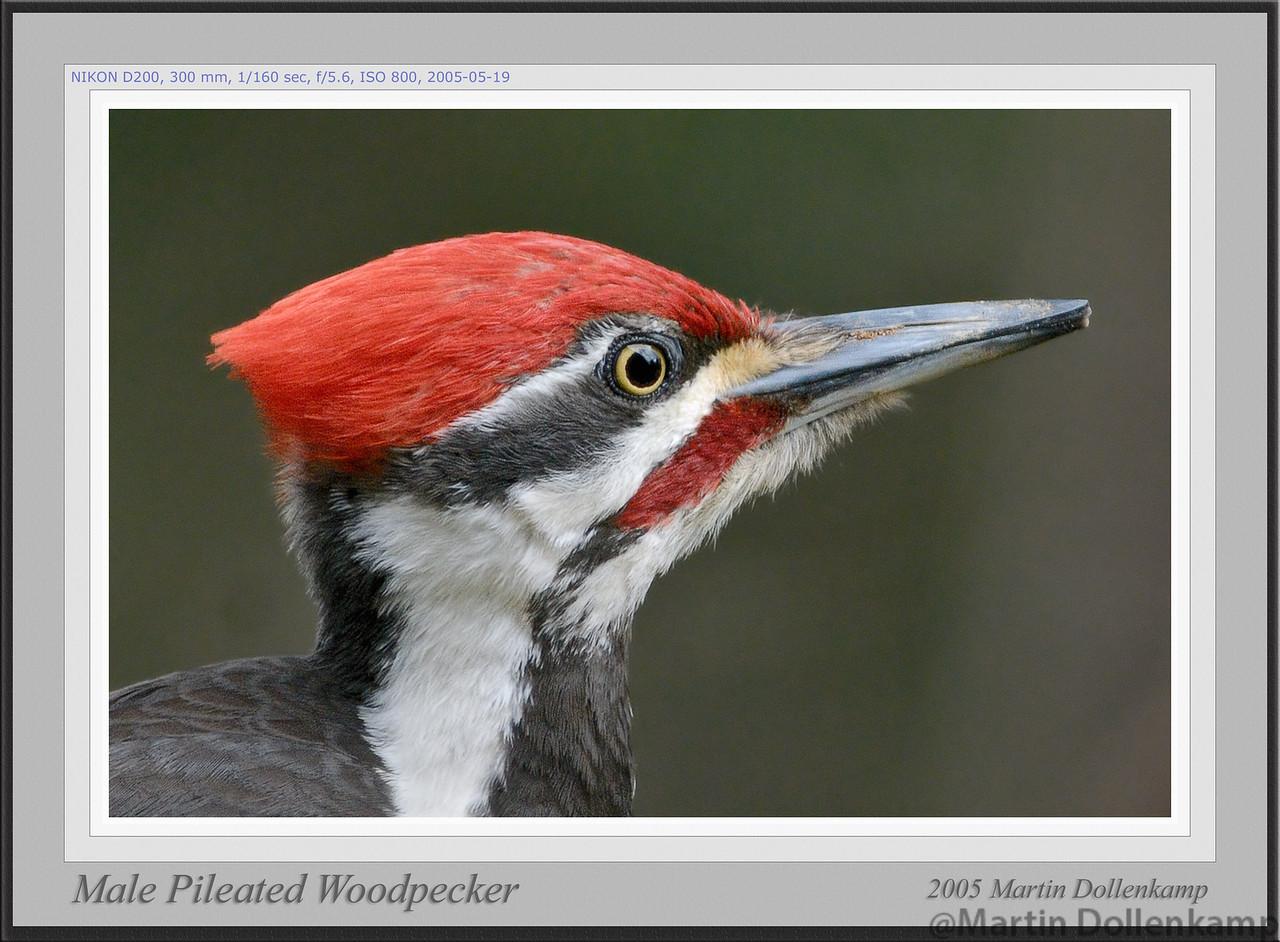 Pileated Woodpecker framed
