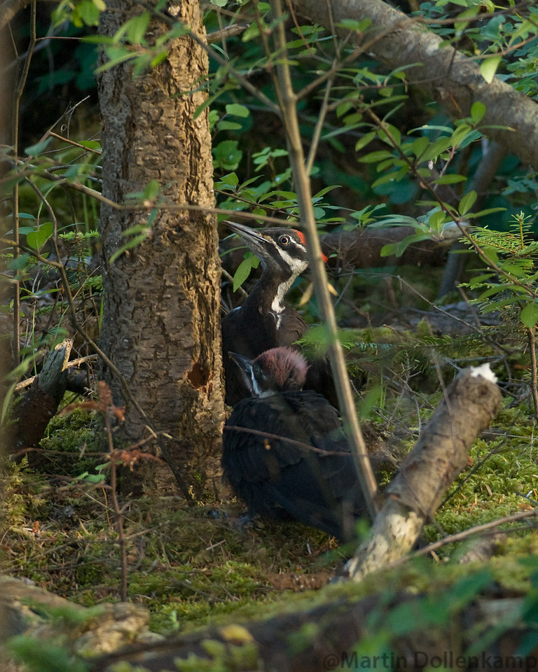 Pileated Woodpecker family foraging along the Oyster River Trail on Vancouver Island.