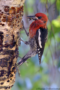 Red Breasted Sapsucker, with a mouthful of ants and catipillars for feeding the young.