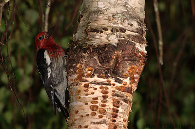 Red Breasted Sap Sucker bores holes in bark then comes back later and eats the sap.