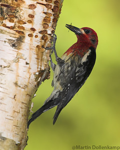 Red-breasted Sapsucker Sap wells are chiseled out and maintained for good sap flow, insects are mixed with the sap to feed nestlings.