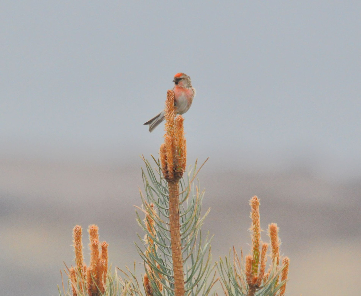 Icelandic Mealy Redpoll