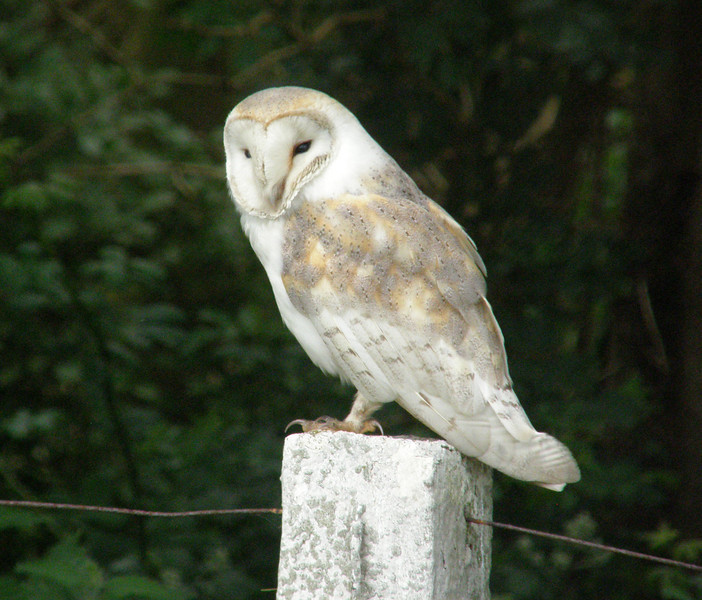 Batn Owl