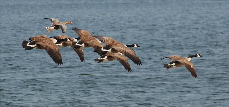 White Fronted and Canada Geese
