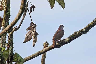 Dusky Pigeon (Ecuador)