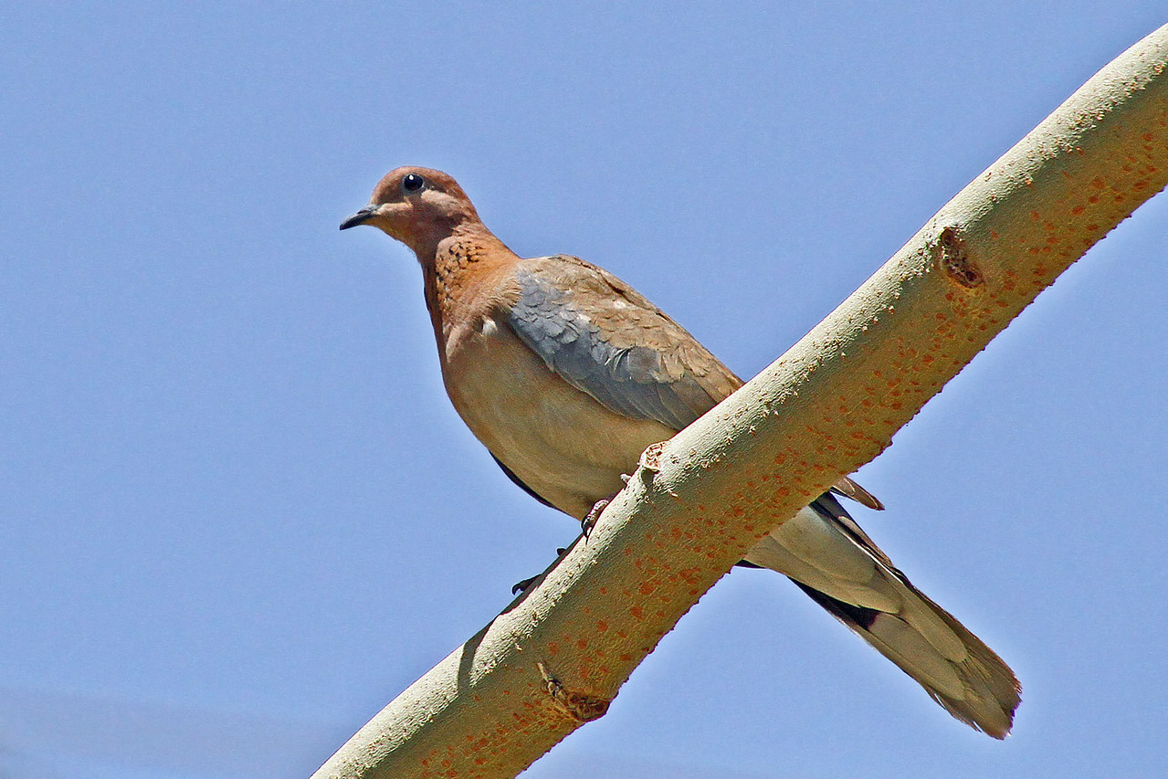 Laughing Dove (Israel)