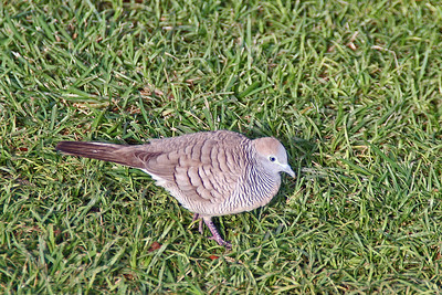 Zebra Dove (Hawaii)