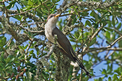 Yellow-billed Cuckoo