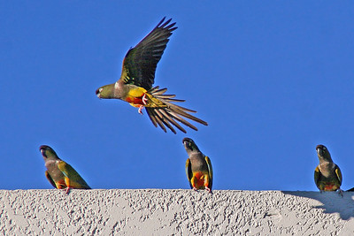 Burrowing Parrot (Hawaii)