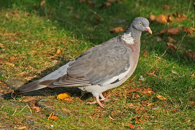 Wood Pigeon (Netherlands)