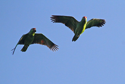 Red-lored Parrots (Panama)