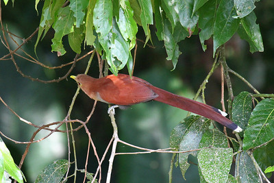 Squirrel Cuckoo (Panama)