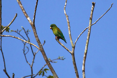 Orange-chinned Parakeet (Panama)