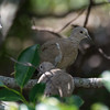 White-winged Doves (youngsters)