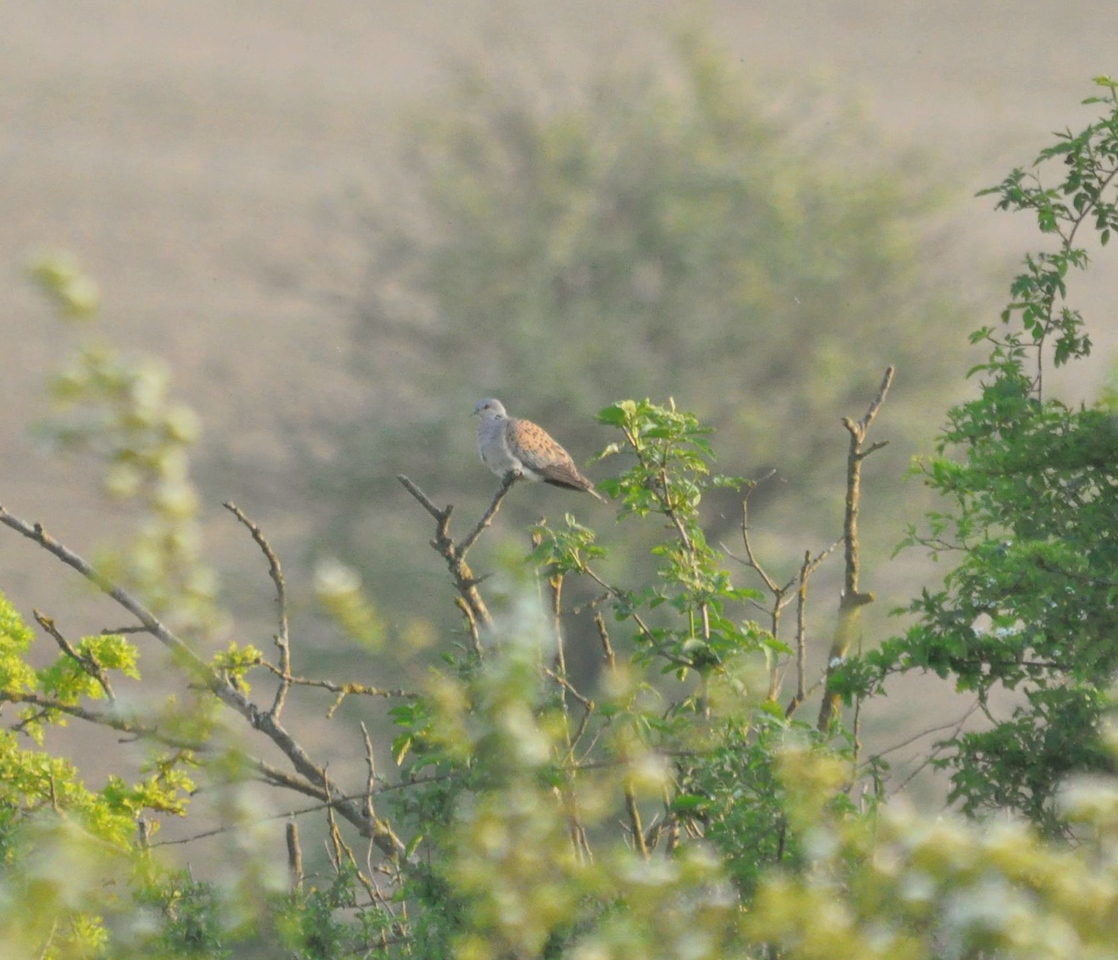 Turtle Dove, Ashwell, May 2012
