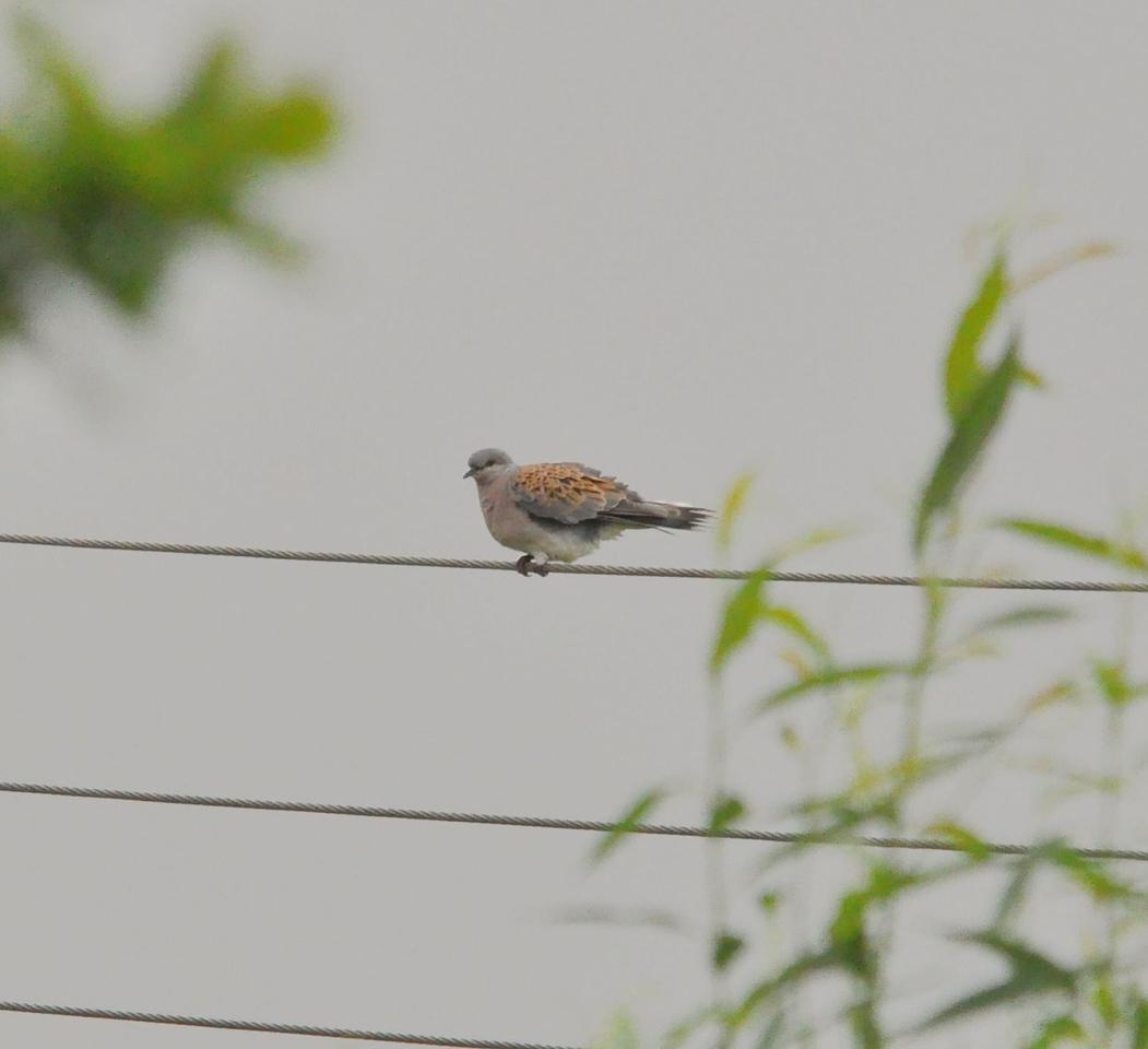 Turtle Dove, Otmoor, July 2012