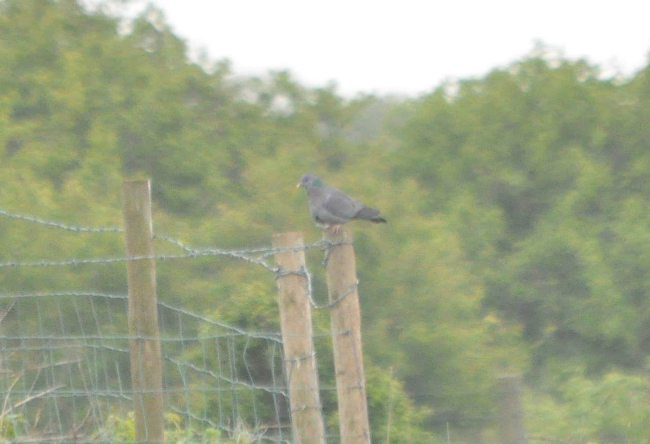 Stock Dove Old Tip Filey May 2011