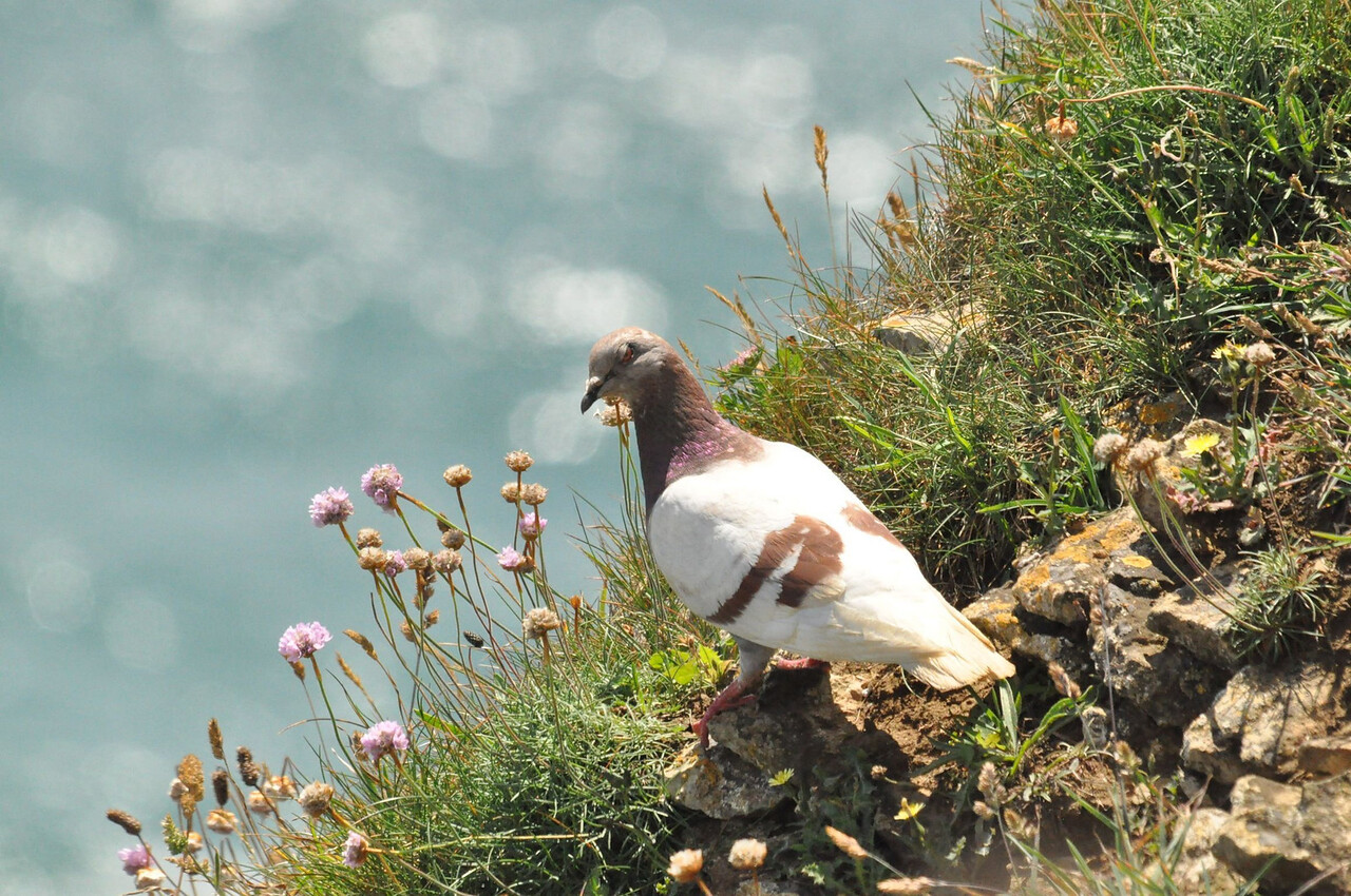 Feral Pigeon 2012