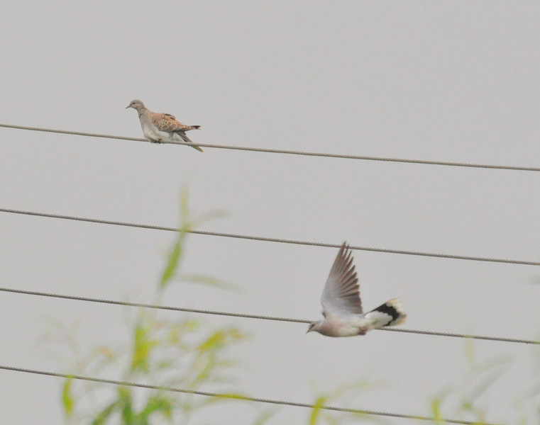 Turtle Dove, Otmoor, July 2012