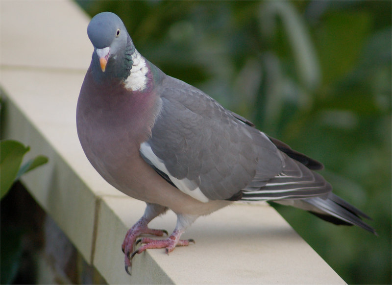 Woodpigeon, Berkhamsted Feb 2007