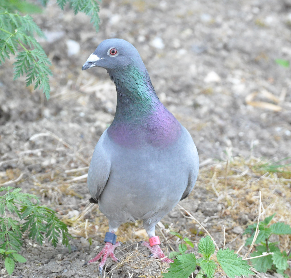 Feral Pigeon College Lake May 21 2011