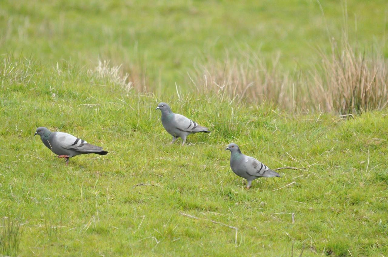 Stock Dove, Scotland, May 2012