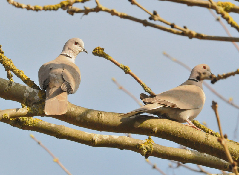 Collared Doves, 2012