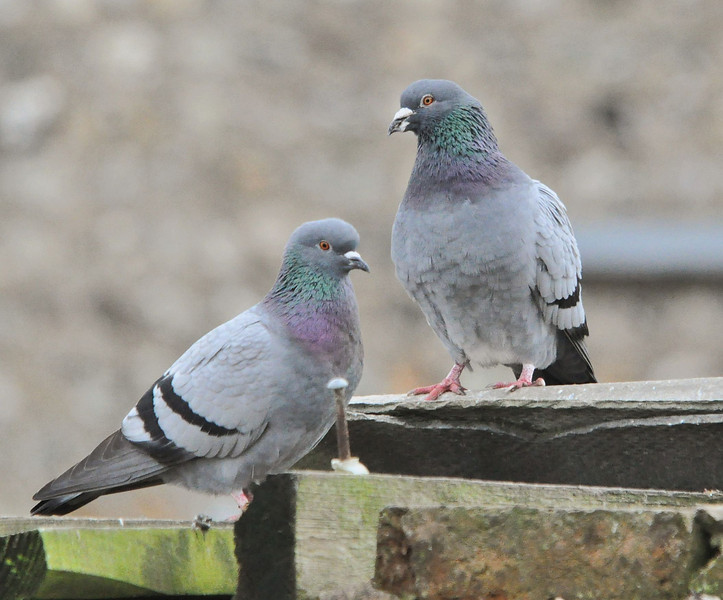 Feral Pigeon April 2012